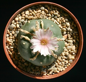 A%207%20year%20old%20Lophophora%20williamsii%20cactus