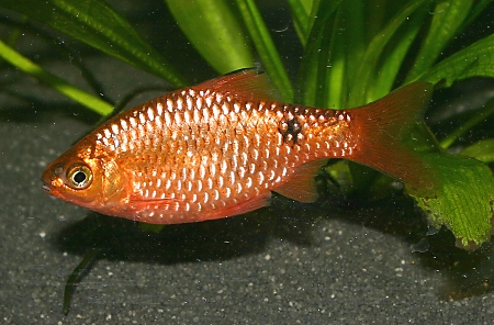 Neon Rosy Barbs Tropical Freshwater Fish